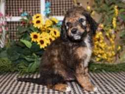 Aussiedoodle puppies for sale Kansas