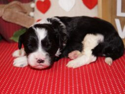 mini sheepadoodle puppy for sale